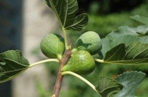 7747288-frutos-de-la-higuera-ficus-carica