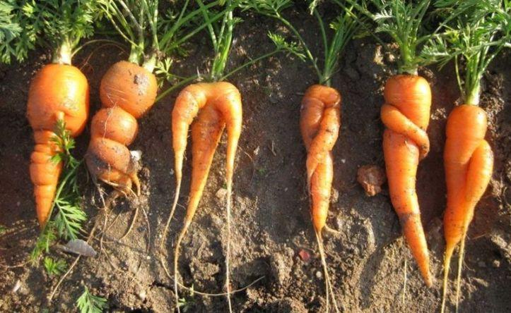zanahorias-portada